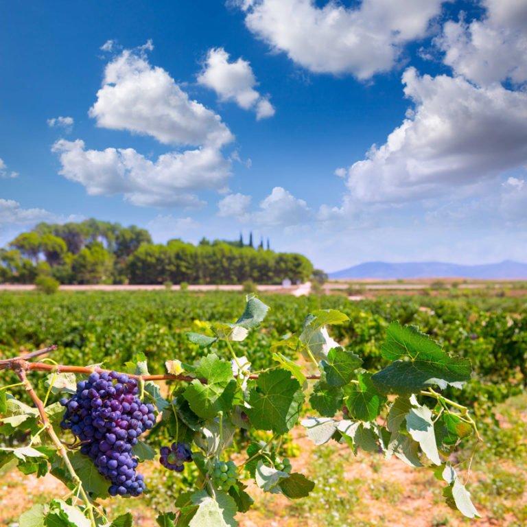 Visitas guiadas viñedos