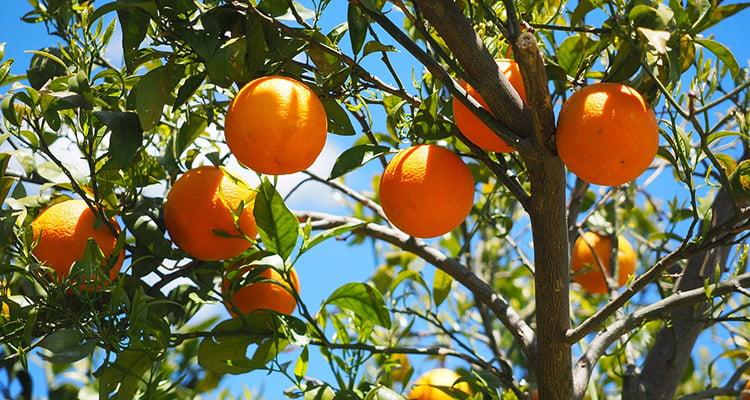 Visitas guiadas huerto naranjos